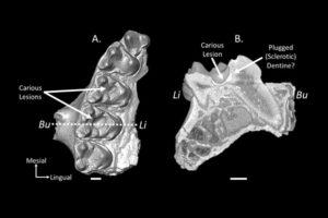 Больше 50 миллионов лет назад наши предки уже страдали кариесом
