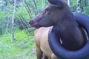 В США спасли оленя, два года бродившего с шиной на шее