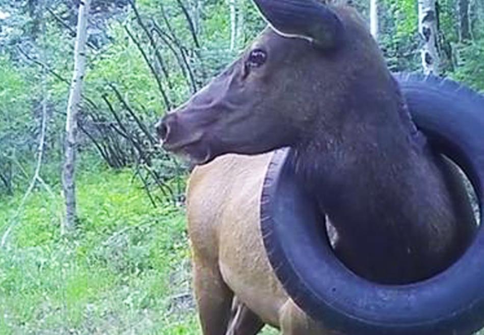 В США спасли оленя, два года бродившего с шиной на шее.Вокруг Света. Украина