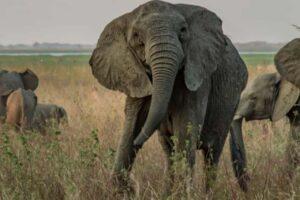 Биологи выяснили, почему африканские слоны стали рождаться без бивней