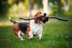 Домашние собаки страдают одинаковым с людьми поведенческим расстройством