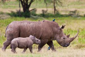 Генетики составили эволюционное древо носорогов