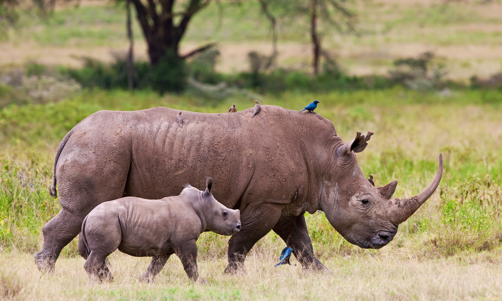 Генетики составили эволюционное древо носорогов.Вокруг Света. Украина