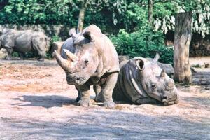 В мире остался всего один северный белый носорог, способный возродить вид