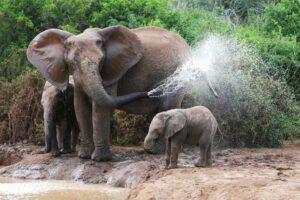 В Южной Африке слон затоптал браконьера