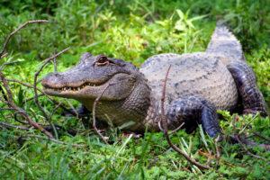 Житель Флориды поймал аллигатора в мусорный бак