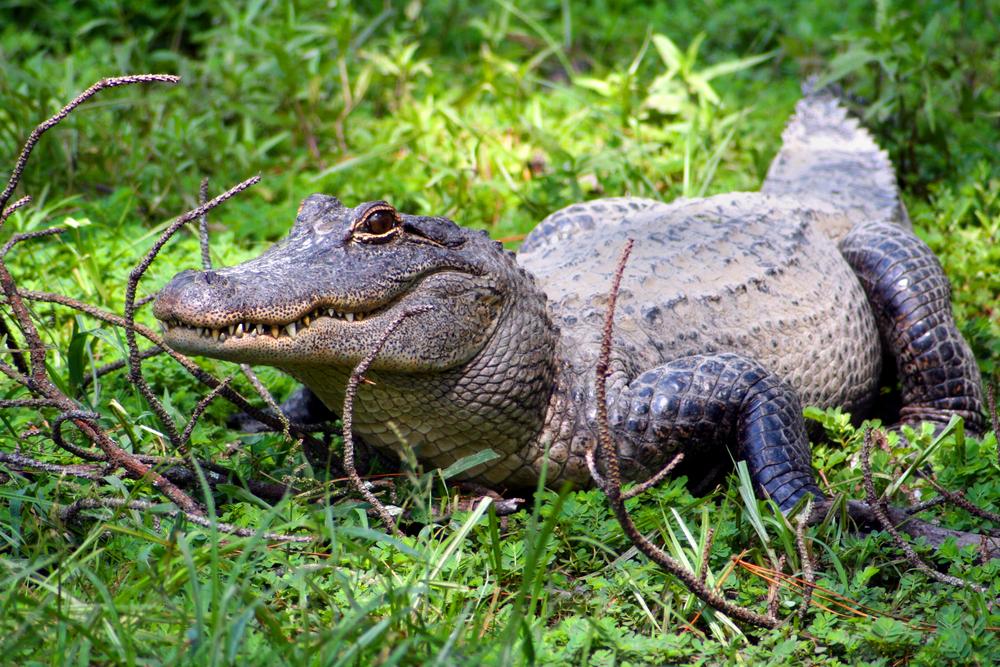 Житель Флориды поймал аллигатора в мусорный бак.Вокруг Света. Украина