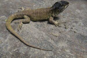 В горах Перу обнаружили новый вид ящериц, которые не спускаются ниже 4,5 км
