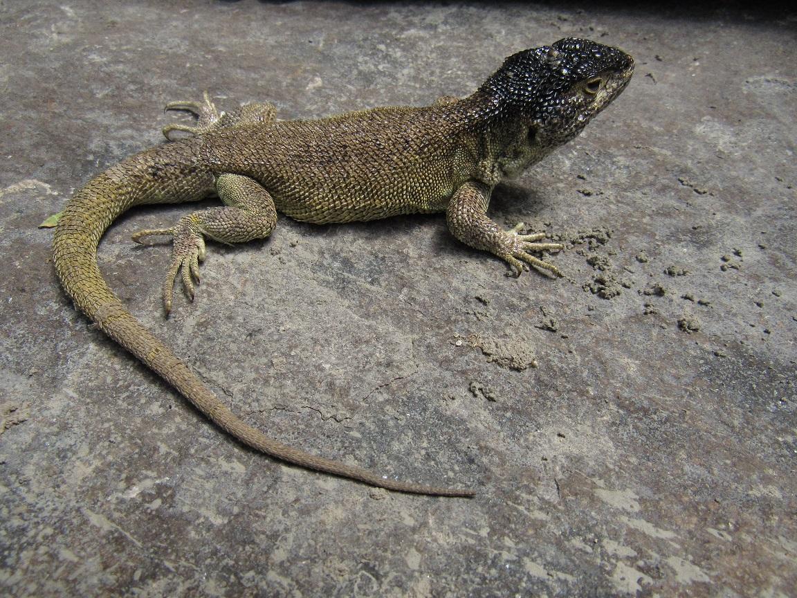 В горах Перу обнаружили новый вид ящериц, которые не спускаются ниже 4,5 км.Вокруг Света. Украина