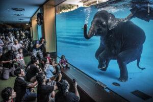 Слон-ныряльщик и другие  лучшие фотографии дикой природы-2021