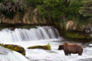 На Аляске выбрали самого толстого медведя. Оппоненты обиделись