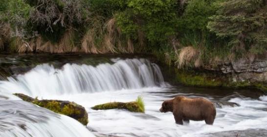 На Аляске выбрали самого толстого медведя. Оппоненты обиделись.Вокруг Света. Украина