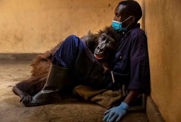 В Африке умерла знаменитая горилла Ндакаси.Вокруг Света. Украина