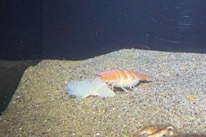 В Японии поймали морского паразита, похожего на суши