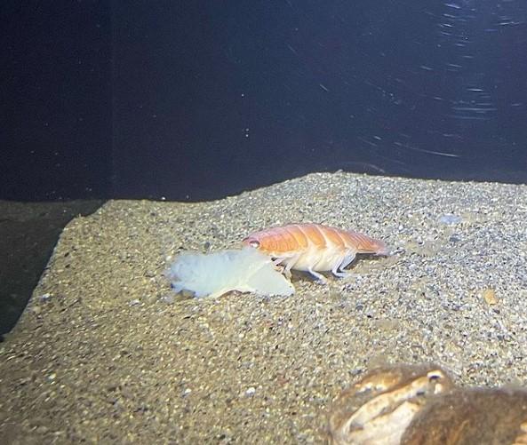 В Японии поймали морского паразита, похожего на суши.Вокруг Света. Украина
