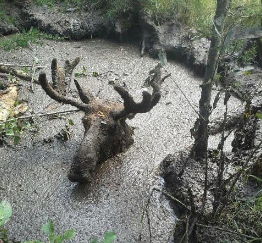 В Канаде пенсионеры вытащили лося из ловушки за рога.Вокруг Света. Украина