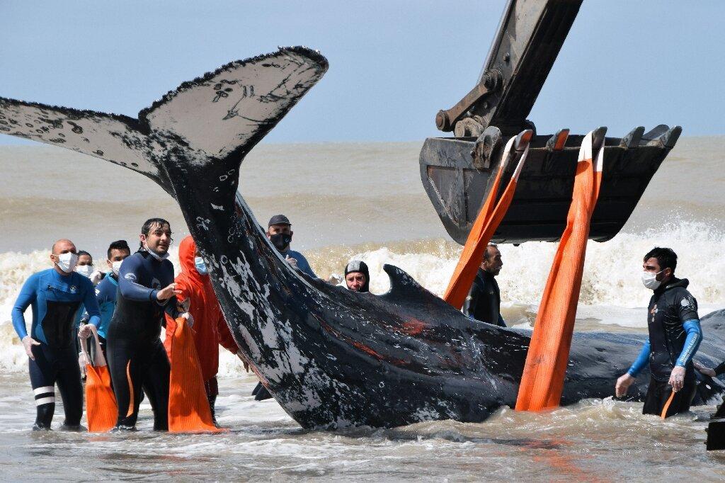 Экскаватором и руками: в Аргентине спасли двух горбатых китов.Вокруг Света. Украина