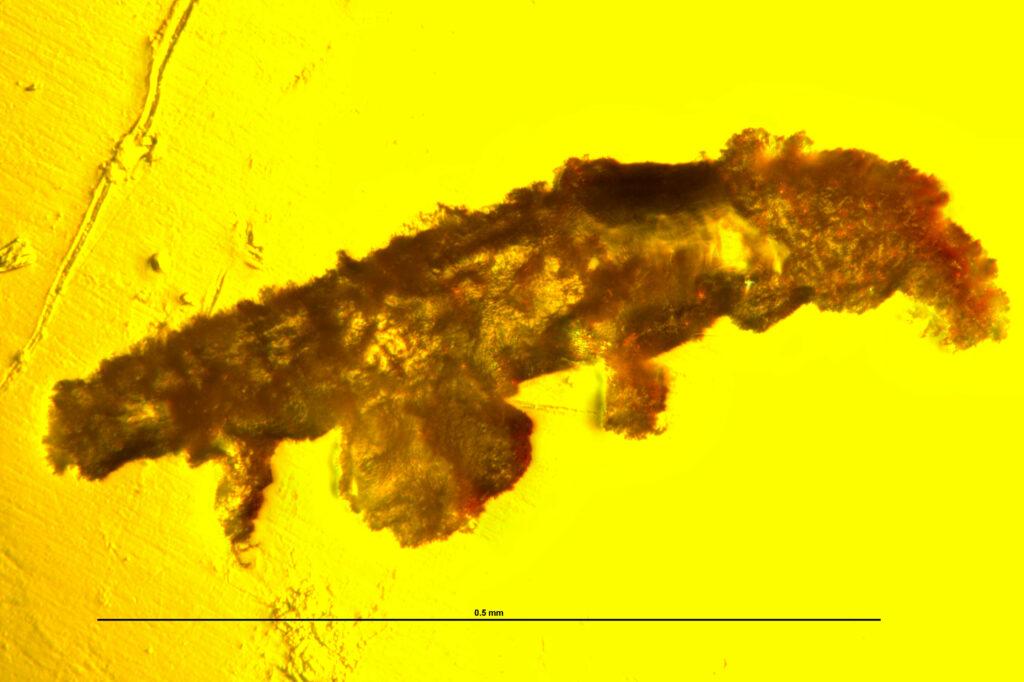 В древнем янтаре нашли тихоходку возрастом 16 миллионов лет.Вокруг Света. Украина